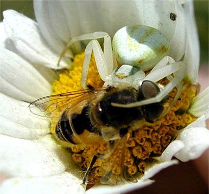 Ara as cangrejo thomisidae municipio de bah a blanca for Jardin 901 bahia blanca